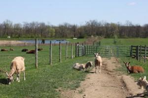 goats cows grazing