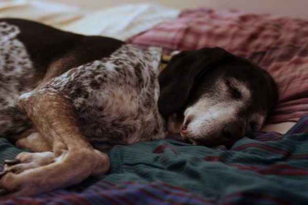 old coon hound dog sleeping