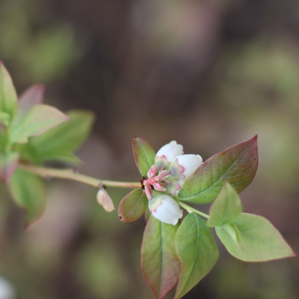 white blueberry blossoms