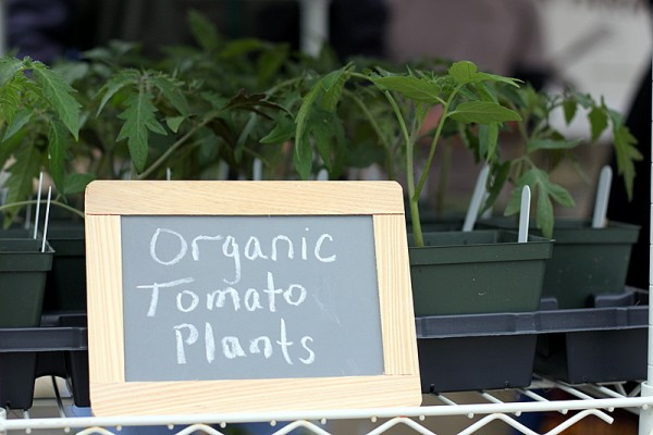 organic tomato seedlings