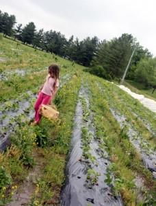 child picking strawberries