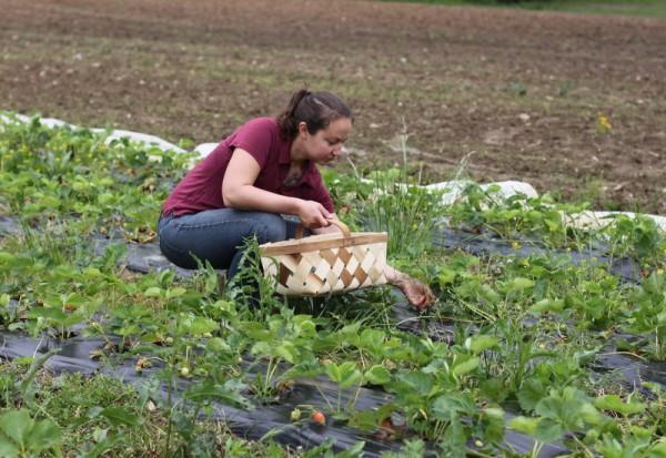 rachel picking strawberries