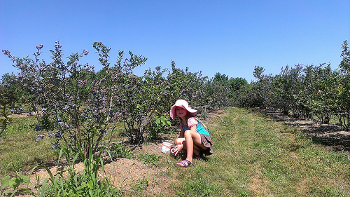 blueberry picking at berryfield farm ceterburg oh