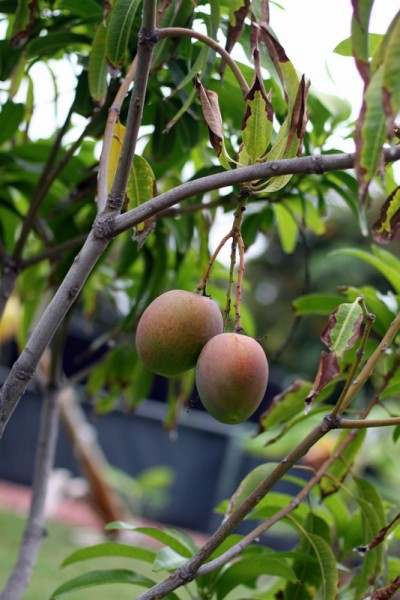 ripe mangos hanging from tree