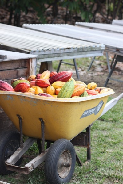 wheelbarrow full of ripe cacao pods