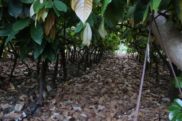 looking through cacao tree rows