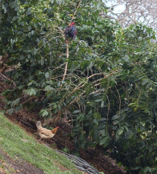 chicken roosting in coffee tree