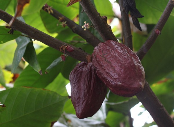 hawaiian cacao chocolate farm tour