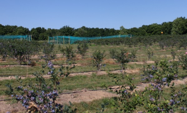 bird netting over blueberry bushes