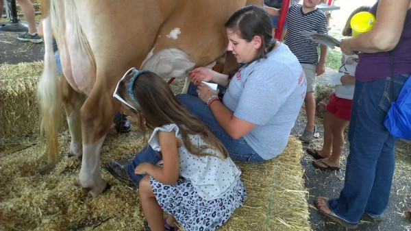 milking cow at ohio state fair