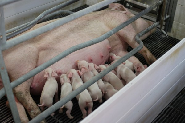 piglets nursing in farrowing farm tour