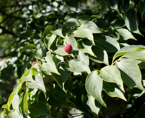 kousa fruit on dogwood tree