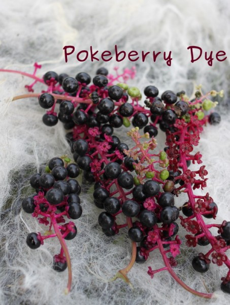 dying wool with pokeberry