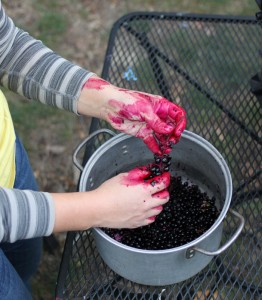 pulling berries off for dye