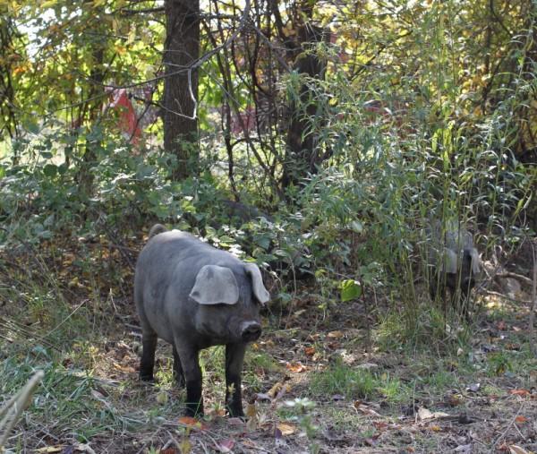 pig at scrub forest edge