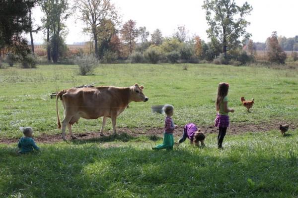 pastured milk cow