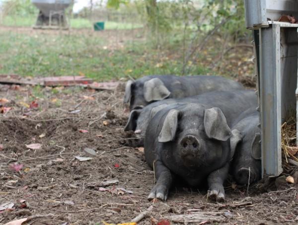 pig pile at six buckets farm