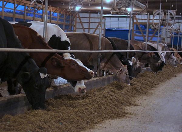cows feeding