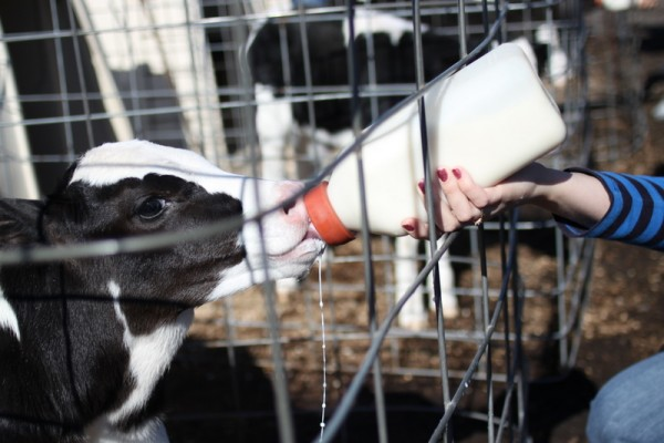 calf drinking milk from bottle