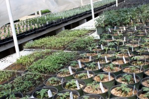 tomato seedlings in fisher greenhouse