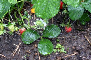 strawberries with bird netting