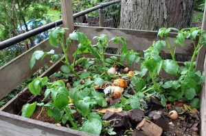 potatoes growing in compost bin