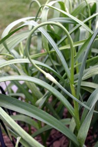 garlic scapes are edible