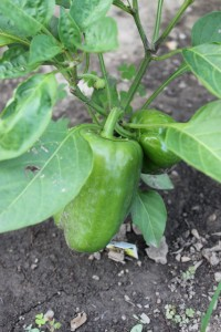 immature green peppers growing