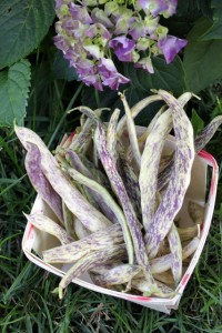 basket of home grown dragon tongue beans