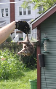 baby opossum held by prehensile tail