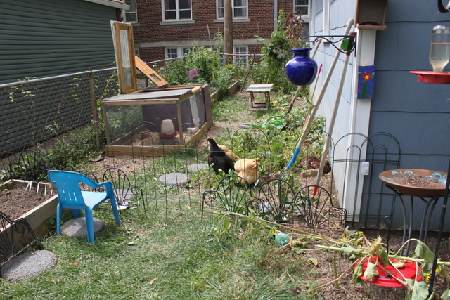backyard chickens grazing