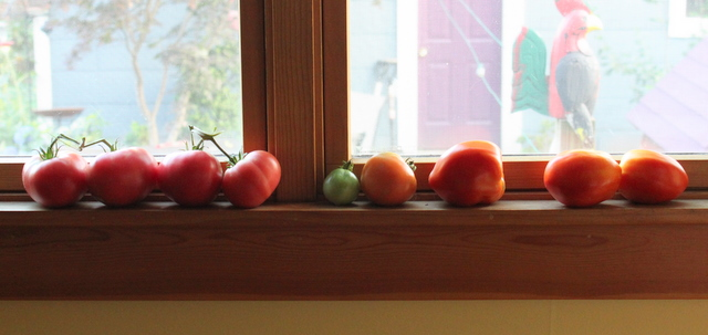 homegrown tomatos ripening on a window sill