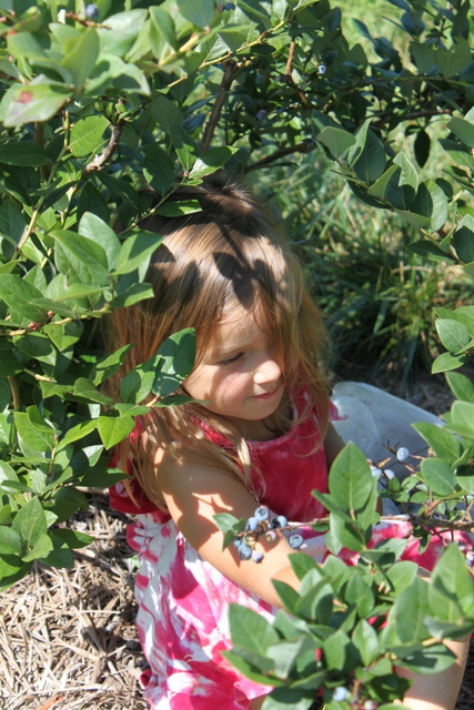 child picking blueberries at berryhill xenia ohio