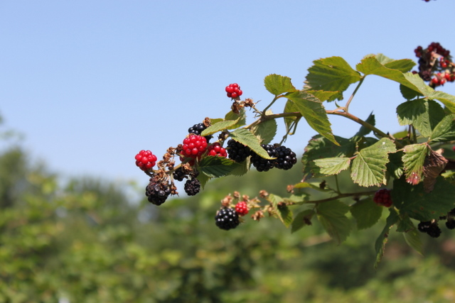 upick blackberries ripening at berryhill xenia ohio