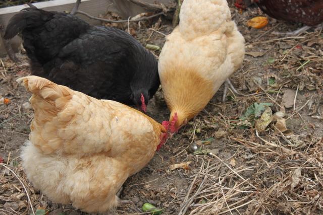backyard hens turning soil