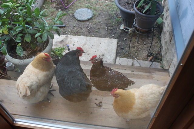 chickens waiting at the back door