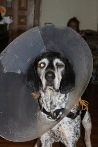 dog in cone of shame