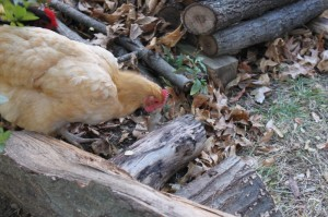 chicken running with mouse in woodpile