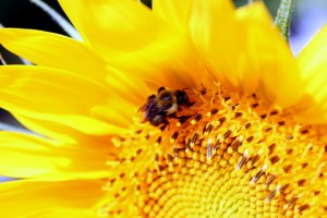 bee on a sunflower in summer