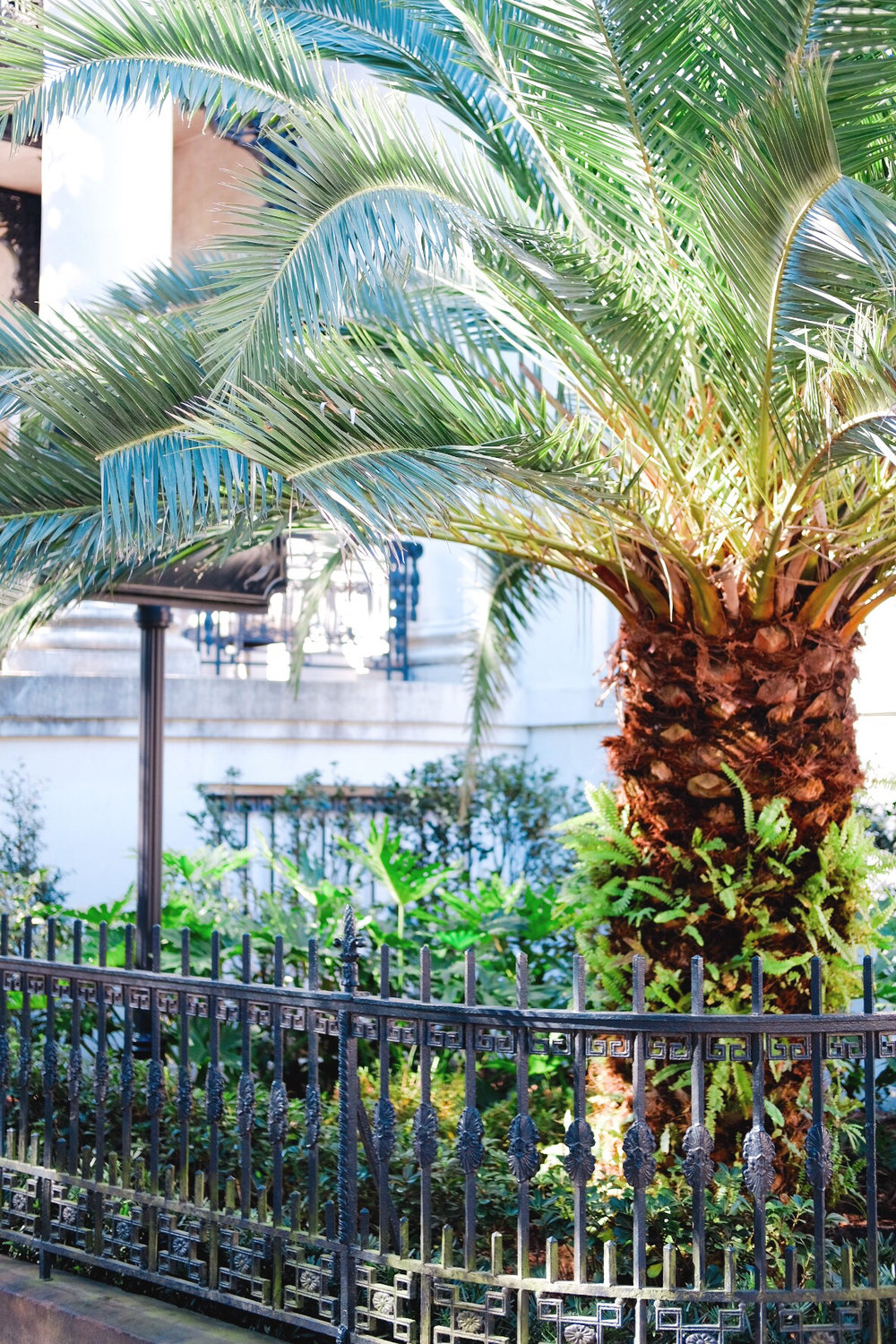 Palm tree in Savannah, GA historic district