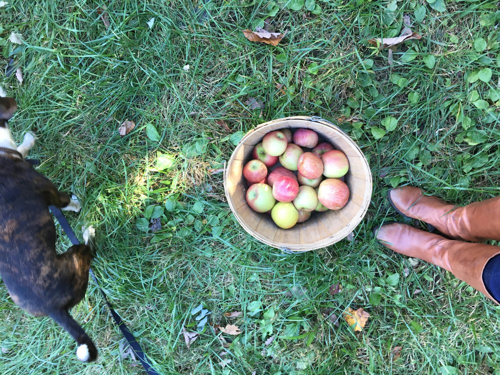 Apple picking at Sky Top Orchard in North Carolina.