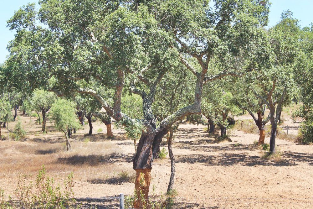 A cork tree along side the highway that had been harvested recently.