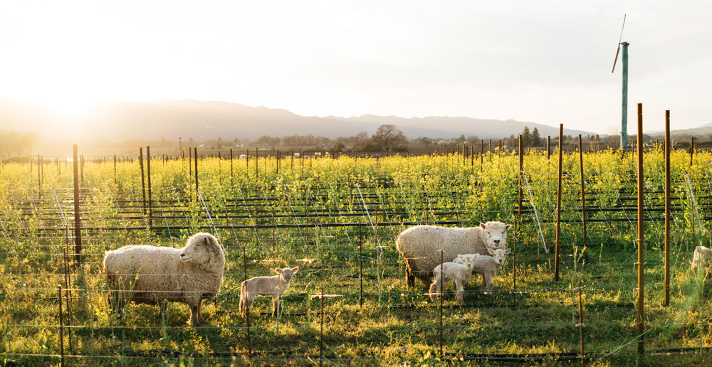 rudd_vineyards_lambs-01.jpg