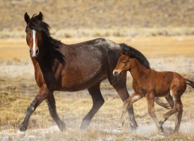 A wild mare and her foal