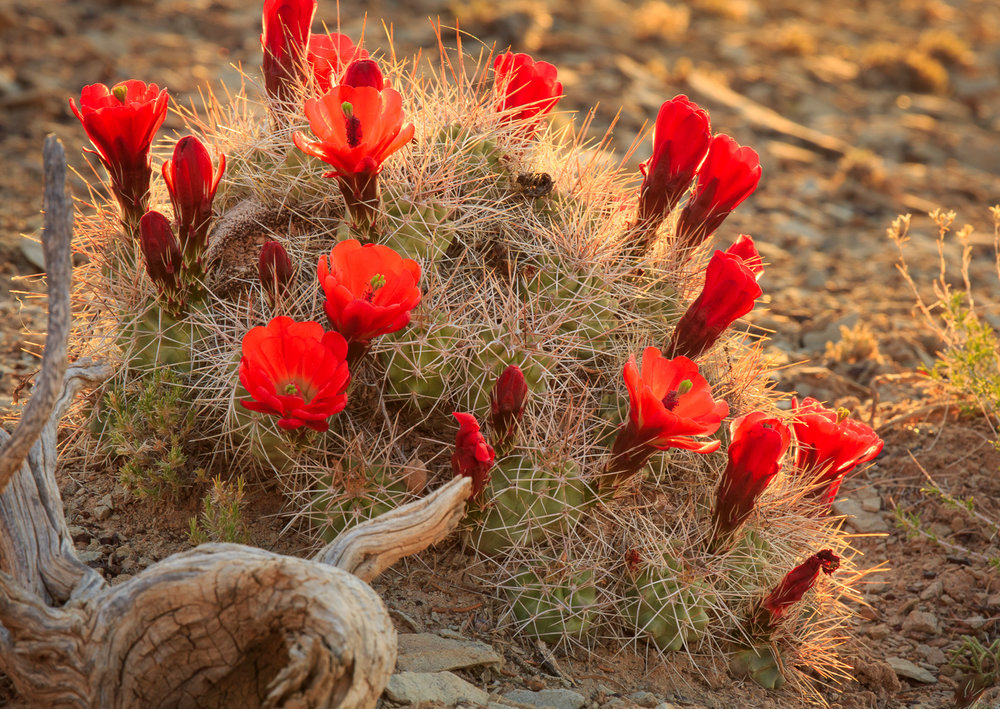 "Claret Cup Cactus (Echinocereus triglochidiatus) are common throughout the Southwest. I found my ""hero"" in full bloom while exploring the Burr Trail in Glen Canyon National Recreation Area. I thought there was the potential to make a nice photograph so I waited for the early morning rays to creep across the desert floor until they created a nice rim light on the mound. The flowers didn't light up quite the way I imagined, but I think it still turned out to be a nice image."