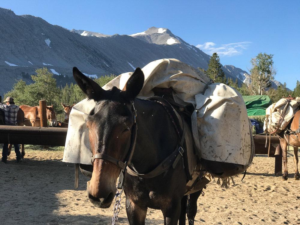 RCPS Mule.jpg
