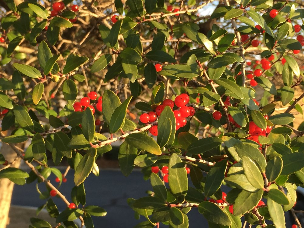 The bright, red berries add nice pop of color to any space and will be used heavily by birds.