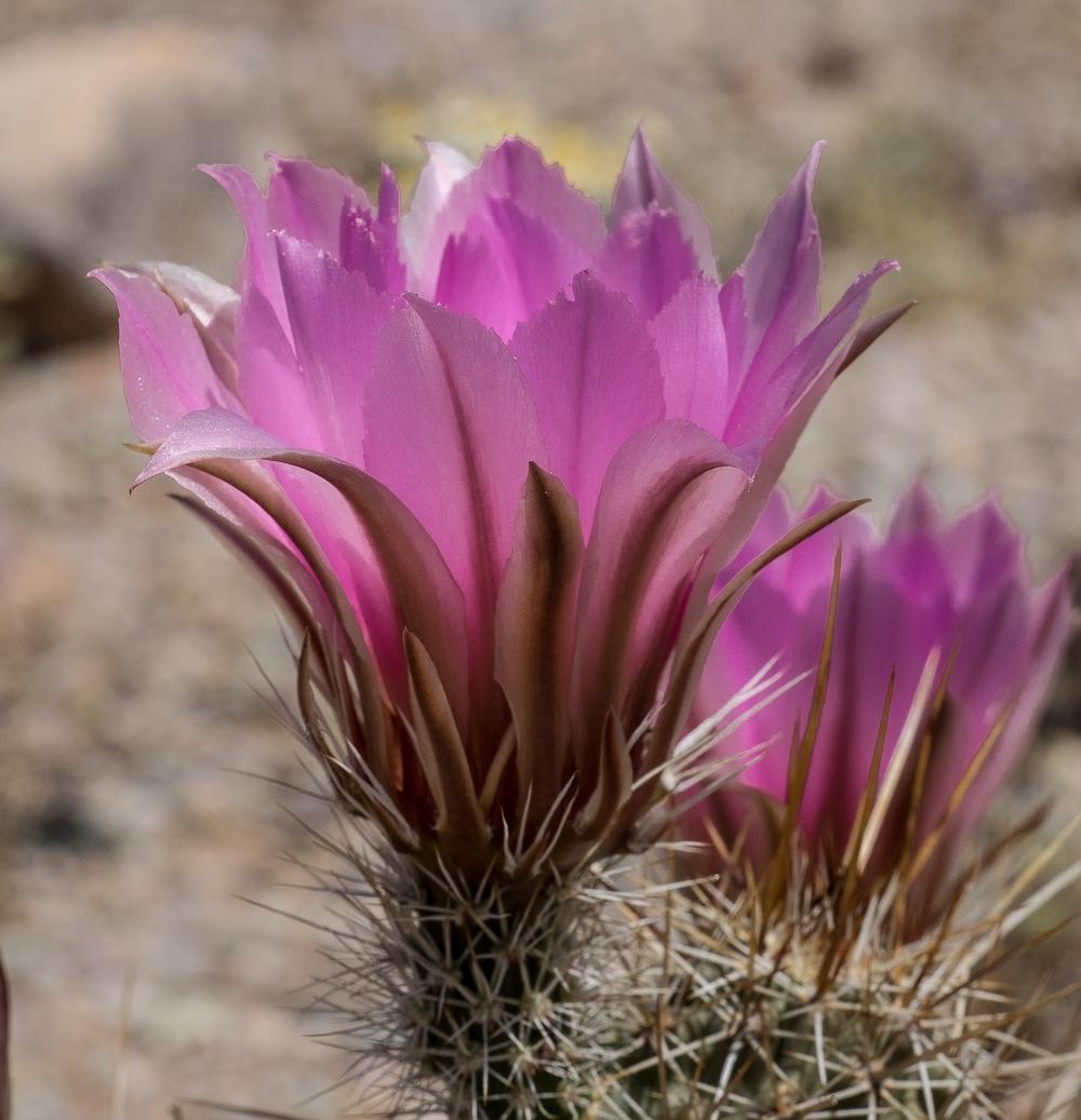 Cactus Flowers-203.jpg