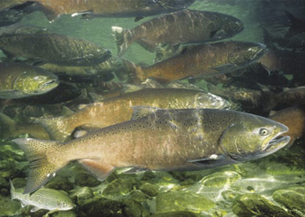 Winter Run Chinook Salmon - NOAA photo