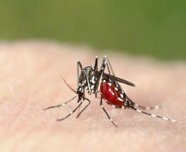 mosquito adult.jpg